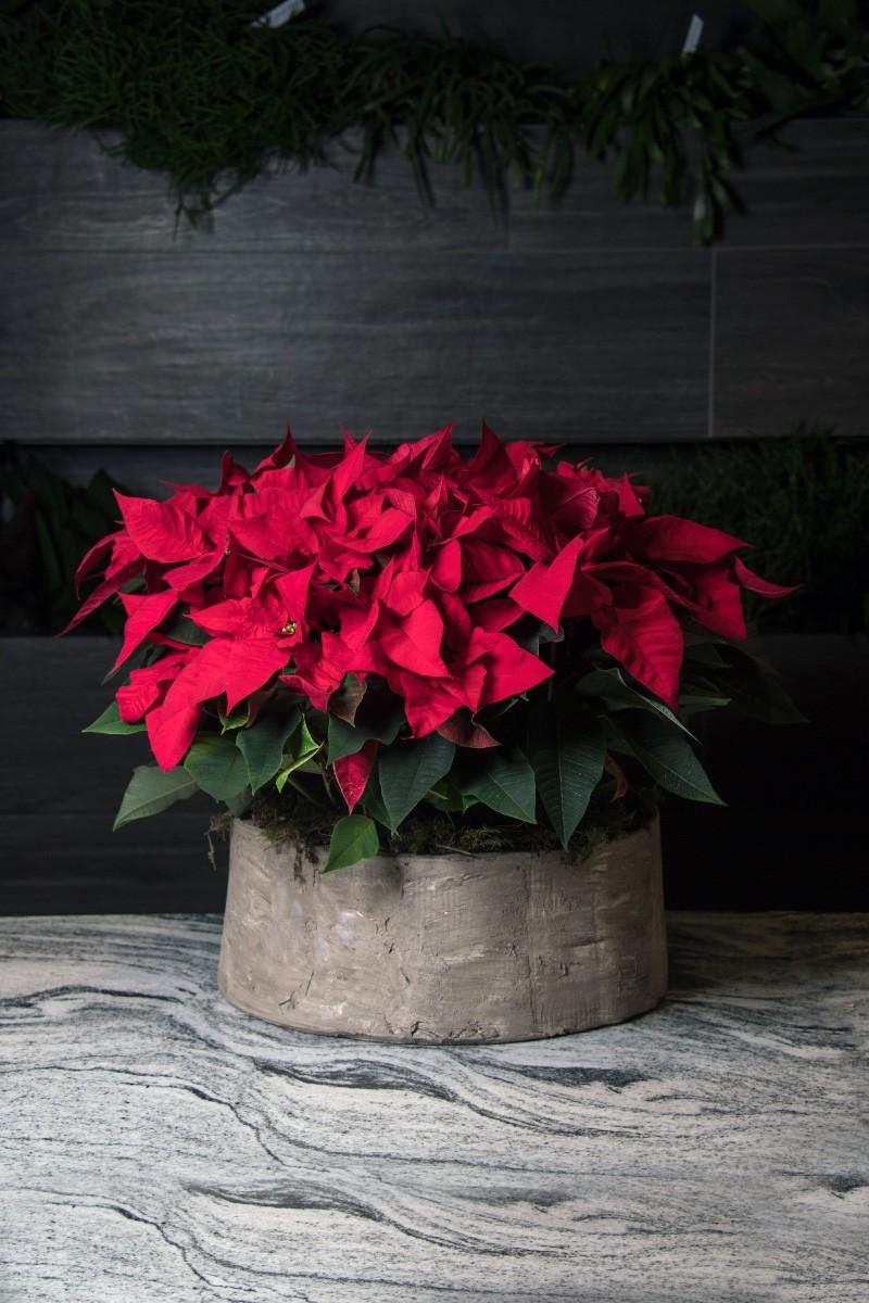Stelle Di Natale Immagini.Ciotole Di Stelle Di Natale Consegna Su Milano Fioristabaratti It